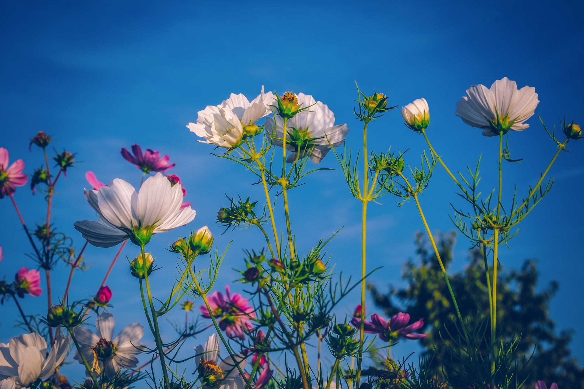 Blumenwiese-und-blauer-himmel
